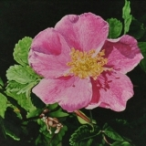 jean-pilch-Chiaroscuro Rose